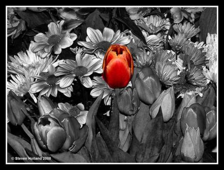Tulip by Kernow-Photography