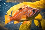 Canary Rockfish by HeatherTelesca