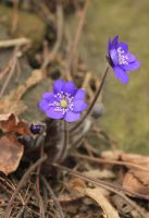 Hepatica nobilis by greatbelow2