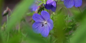 Hardy Geraniums by Photolover68