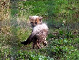 2014 - Cheetah cub 12 by Lena-Panthera