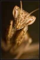 Praying Mantis II by Deformity