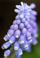 Grape Hyacinth 8 by Dream998