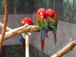 Parrots by PirateLotus-Stock