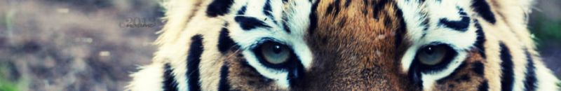 TIGER EYES by lisarime