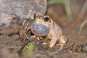 Red spotted Toad 8641 by robbobert