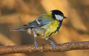 Shaggy tit by starykocur