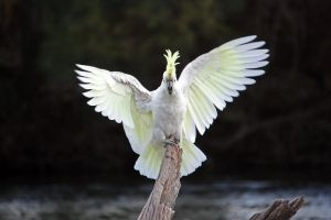 Sulphur Crested Cockatoo 17 by aussiegal7