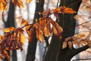 Autumn with hornbeam I by rosaarvensis