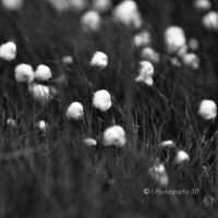 Cottongrass by WALKING-GIRL