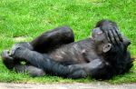 relaxed chimpanzee by Dieffi