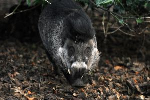 Negros Island Warty Pig Boar by Shadow-and-Flame-86