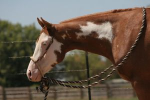 Chestnut Red Roan Paint Pinto Gelding by HorseStockPhotos