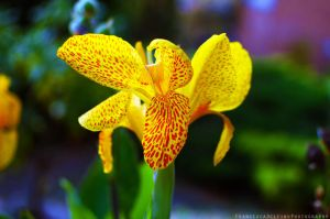 Orange iris 2 by FrancescaDelfino