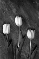 Tulips by nighty