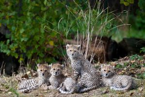 Sudanese Cheetah Cubs 284-11o by Haywood-Photography
