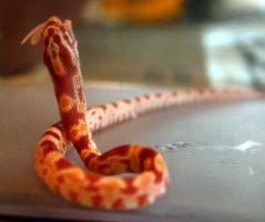 Albino Corn Snake Eating by Della-Stock
