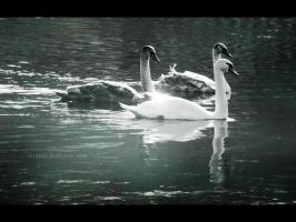 Swans by Alharaca