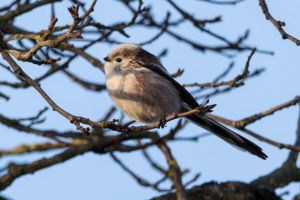 Long-tailed tit (Aegithalos caudatus) by paschlewwer