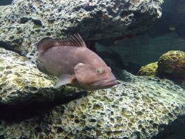 Brown Cow Fish 002 by SineSpesStock