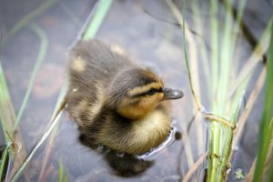 Duck Chick by BIREL