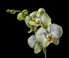 moth orchid by tea