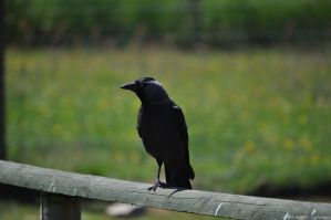 Mr Jackdaw by rayrussell2000uk