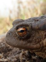 Bufo bufo by timemit