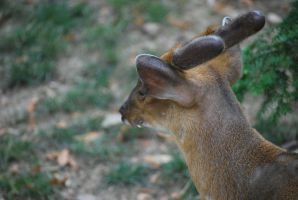 muntjac 1.4 by meihua-stock