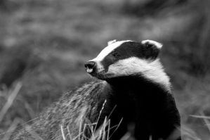 Badger by shaunthorpe