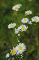 Little White Flowers by Manbehindthelens