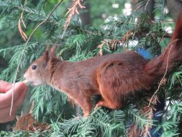 Squirrel by Almile