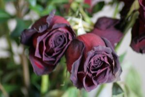 Withered Roses 1 by sd-stock