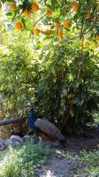 Kreta - A peacock at the Botanical Garden by cactusmumkate