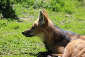 Maned Wolf 4 by lucky128stocks