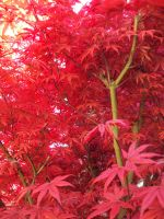 Red Leaves by Kumohoshi
