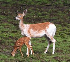 Piebald Doe with Fawn by tidesend