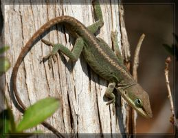 Green Anole 20D0045624 by Cristian-M