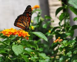 Flower and Monarch Butterfly 2 by ladybug95
