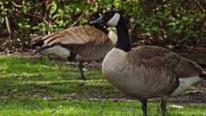 Geese by Overclock45