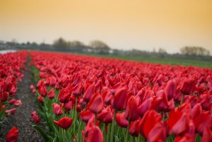 tulips by angganey
