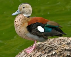 Kowloon Ringed Teal (Callonetta leucophrys) by Ironpaw