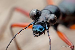Flightless Tiger Beetle (Tricondyla sp.) by melvynyeo