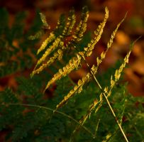 Fern in the golden hour by forgottenson1