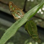 Malachite Butterfly by Debellos