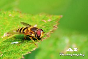 Hover Fly by The-Baron