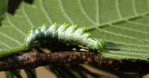 Double tooth prominent Caterpillar by natureguy