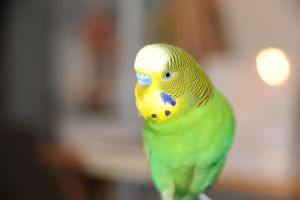 I am Budgie, no? by databank