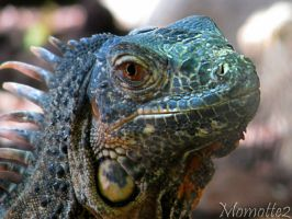 Smiling iguana by Momotte2