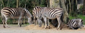 Wild animal 333 - family of zebras by Momotte2stocks